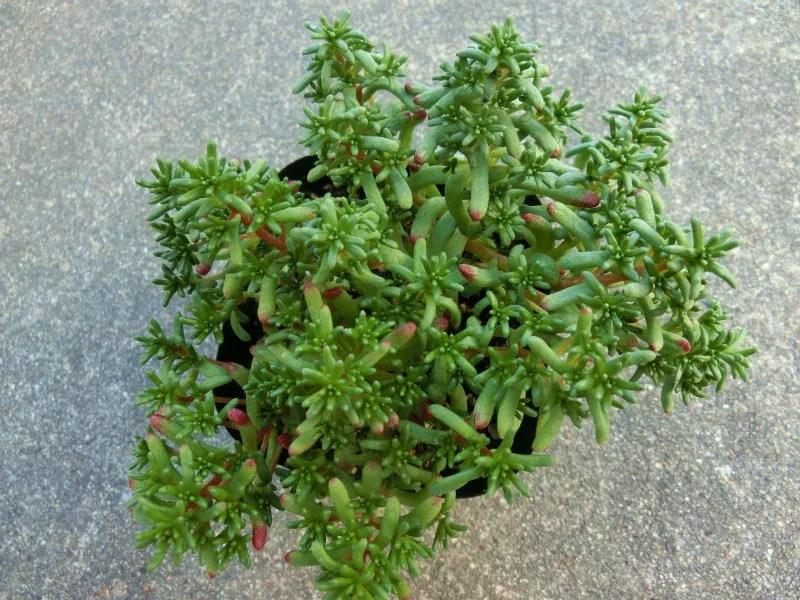 青花のセダム・カエルレウム、カウルレアのポット苗です。
