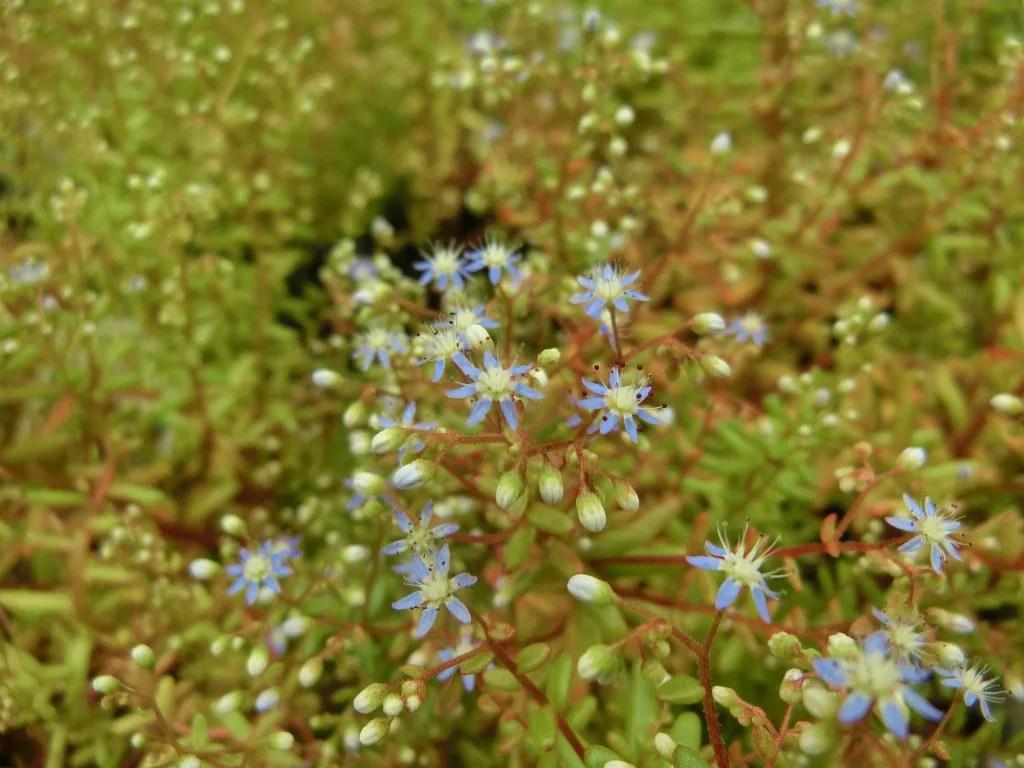 青花のセダム・カエルレウム カウルレアが開花しました。