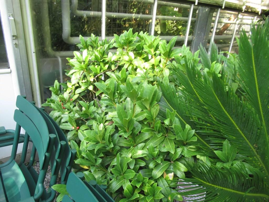 オランダで植栽されていたスキミア