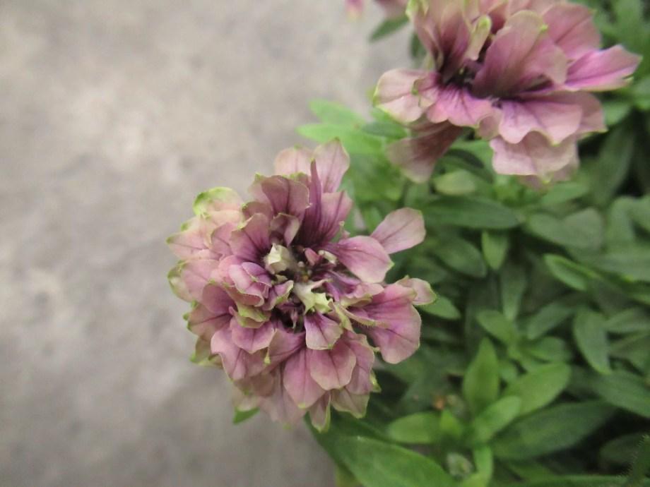 ペチュニアの湘南ヴェルデの仲間の湘南リプル 紫色の花の拡大です。