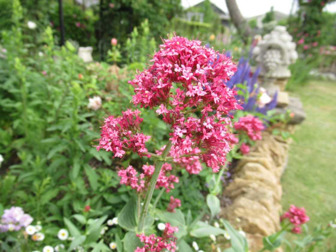 セントランサス コッキネウスの花の画像