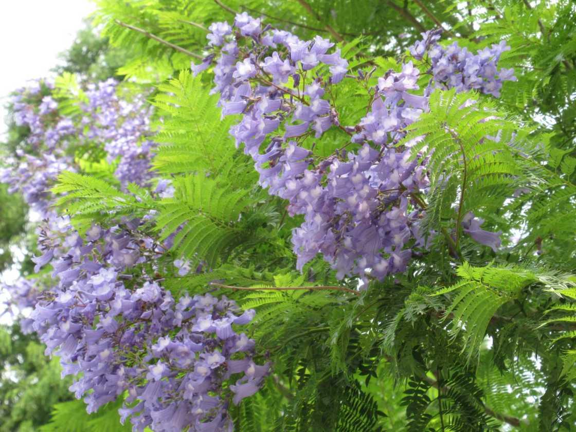 南半球のサクラ 青い花