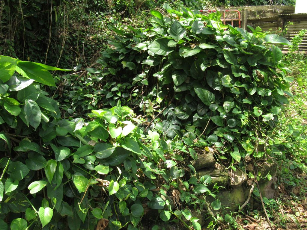 南y島の植物。