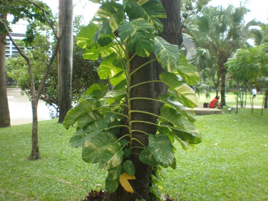 タイのバンコクの公園で見られる植物。