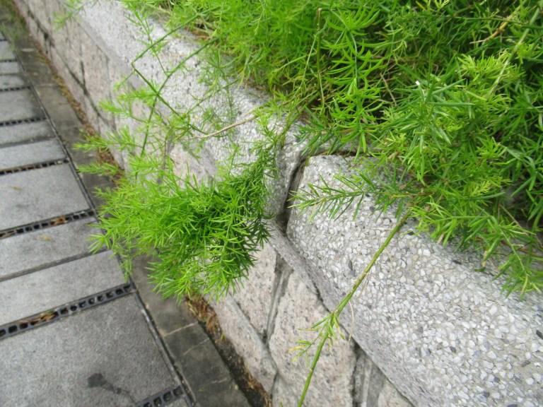 アスパラガス・スプレンゲリーの葉を拡大しました