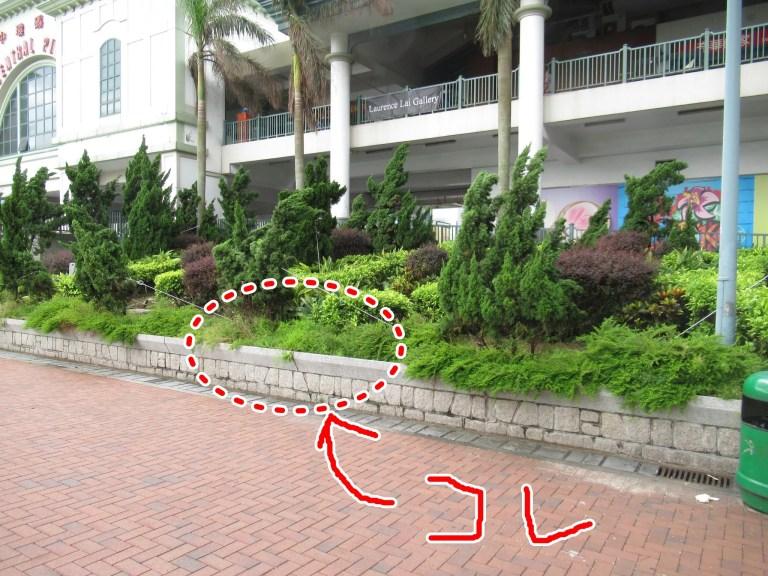 香港で植栽されていたアスパラガス・スプレンゲリー。