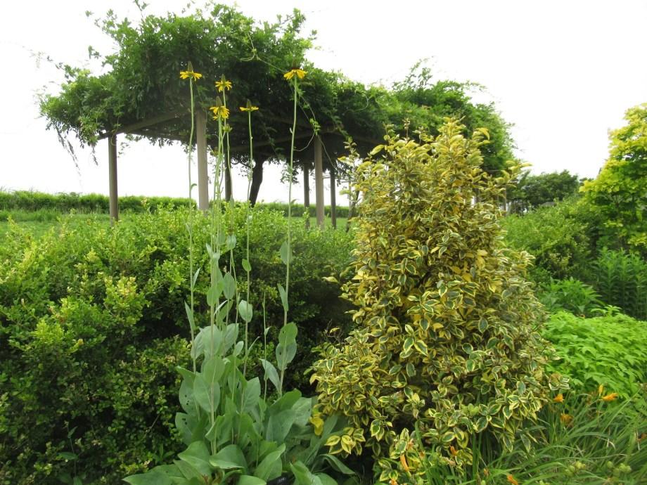 ルドベキア・マキシマが植栽されている様子。