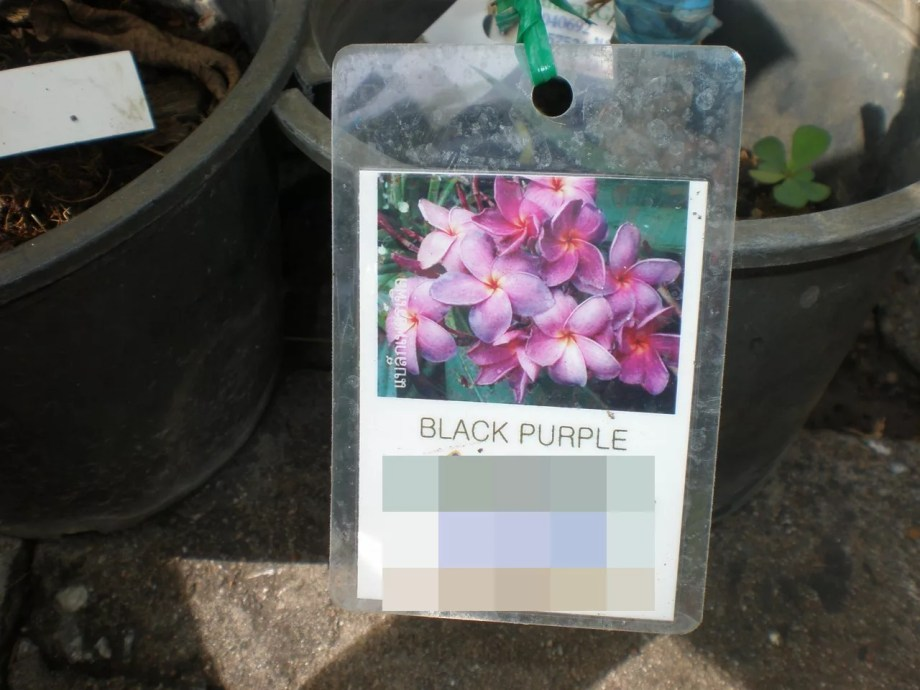 紫花のプルメリアです。