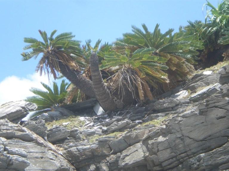 沖縄の座間味島に自生してたソテツ