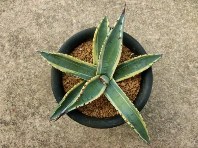 アガベ 屈原の舞扇 の斑入り種です。錦です。