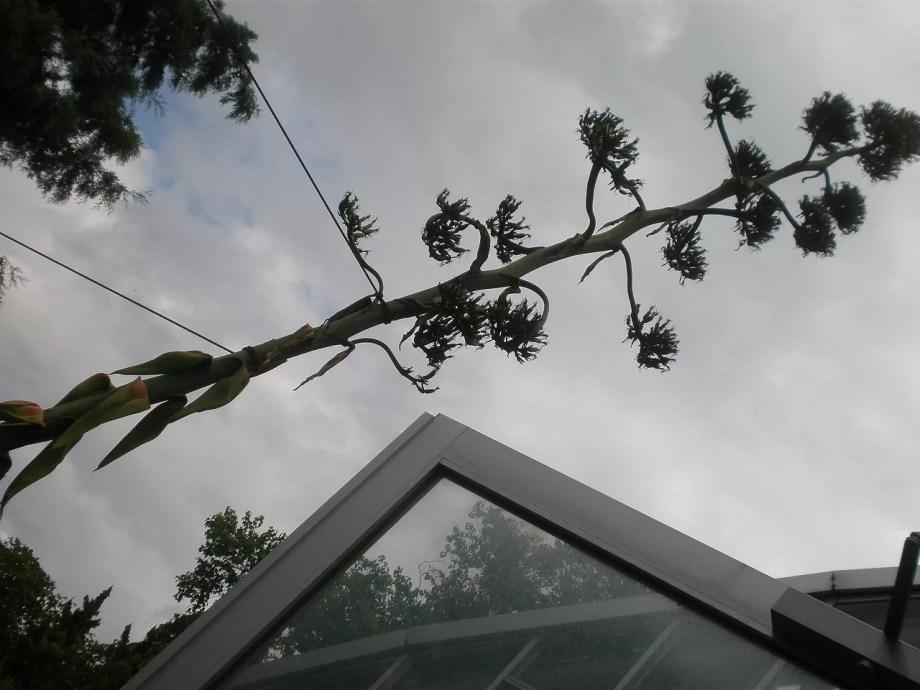 アオノリュウゼツランの花です。逆光ですが。