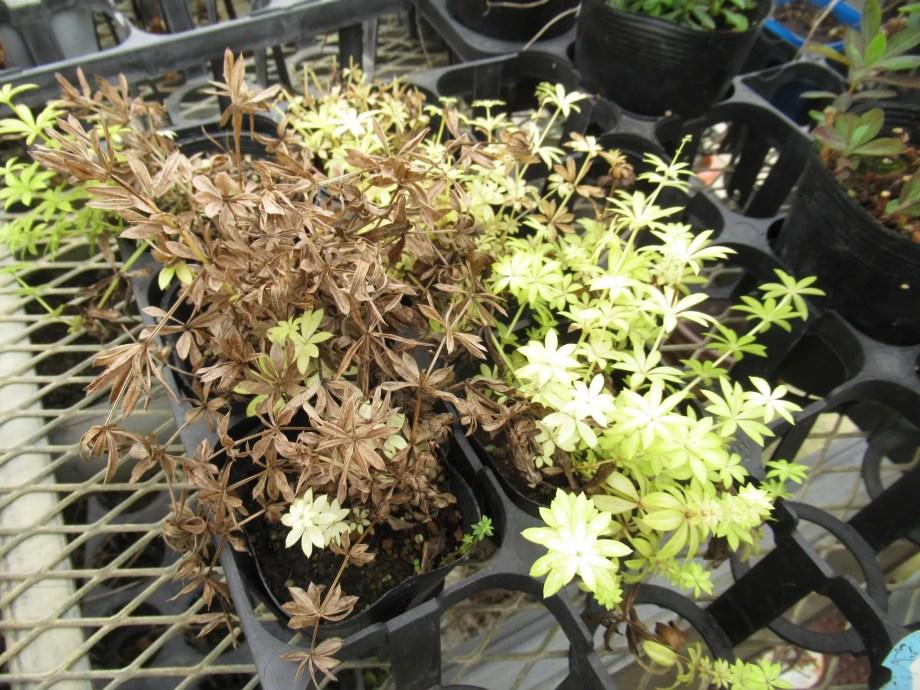 ガリウム・オドラツムは花が終わると地上部が枯れることがある。