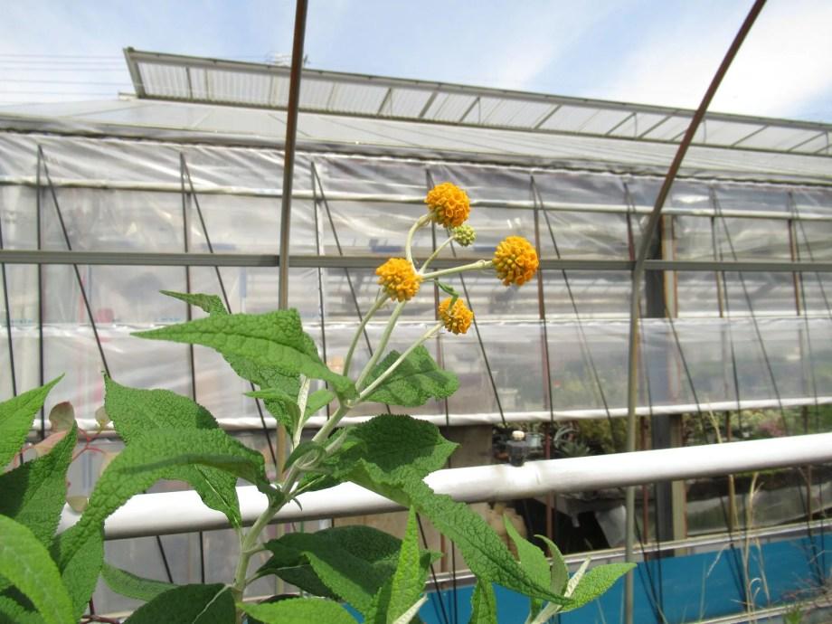 原種の玉状の花穂のブッドレアです。