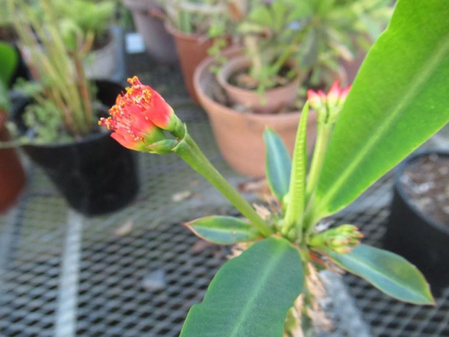 花芽が伸びてきた噴火竜。
