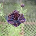 濃い青花のニゲラです。