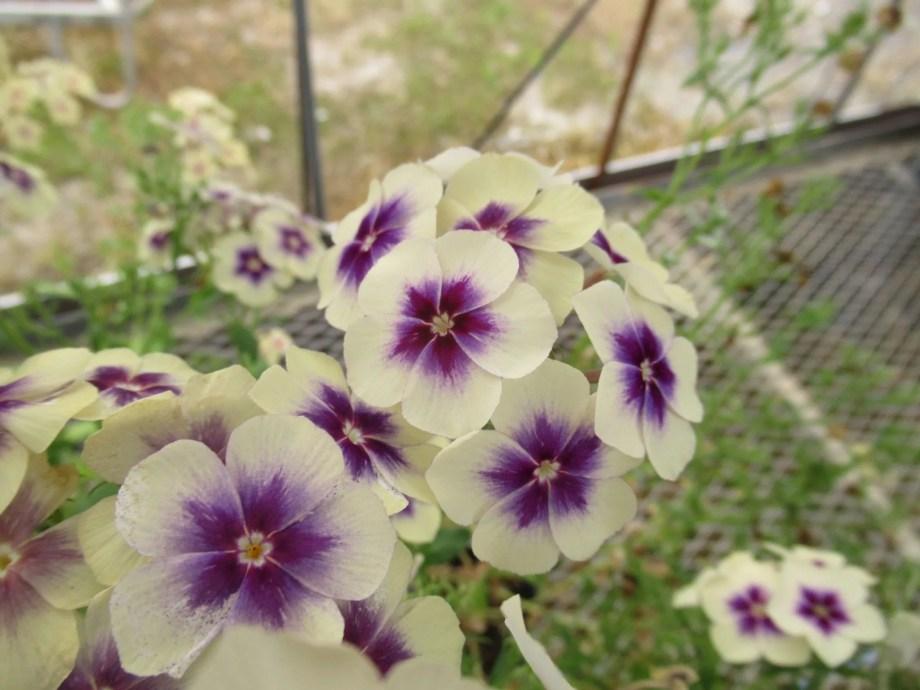 1年草のフロックス チェリーキャラメルの青花です。