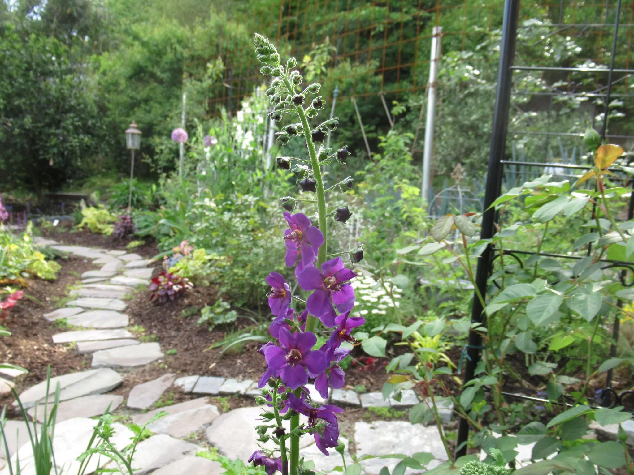 紫色の花のバーバスカム 、ビオレッタです。