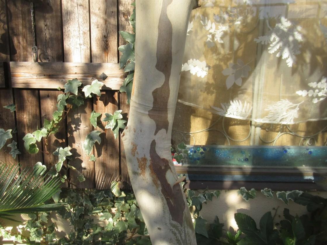 庭植えのレインボーユーカリ。
