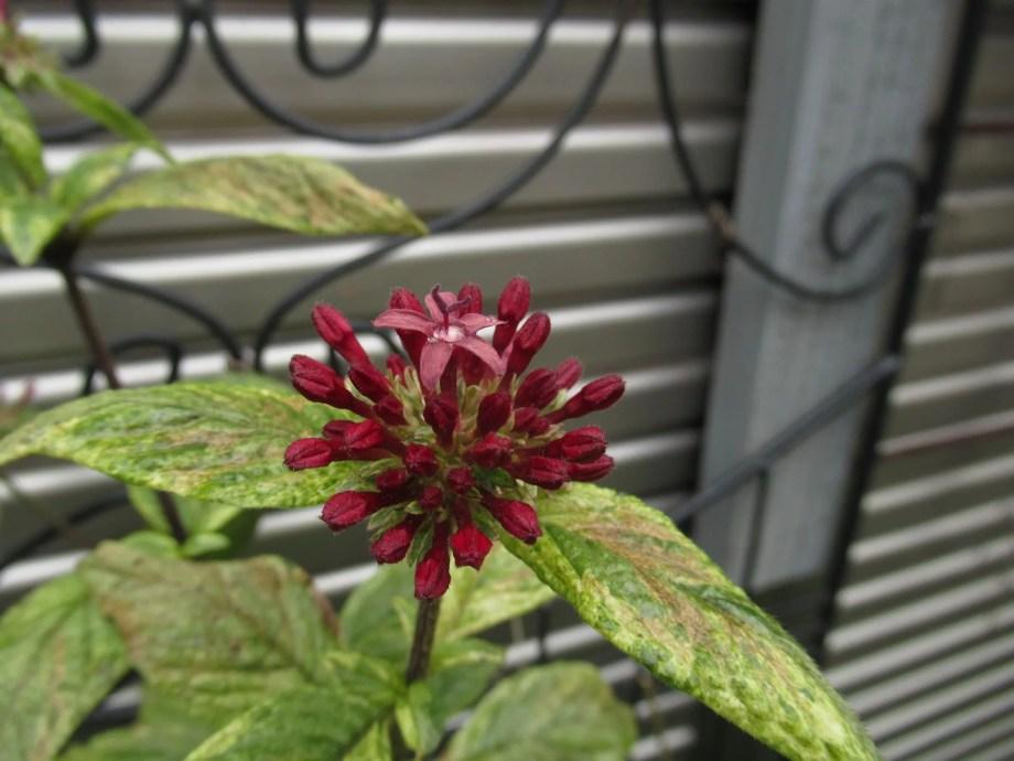 初霜までは咲いてくれるペンタス。
