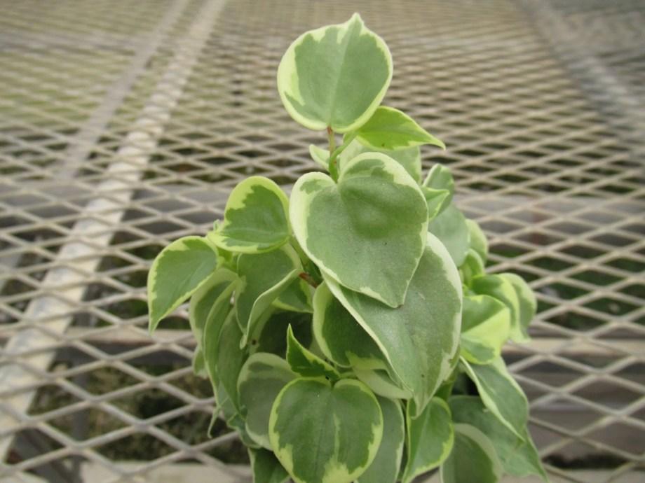 ペペロミア・セルペンスの苗の状態。