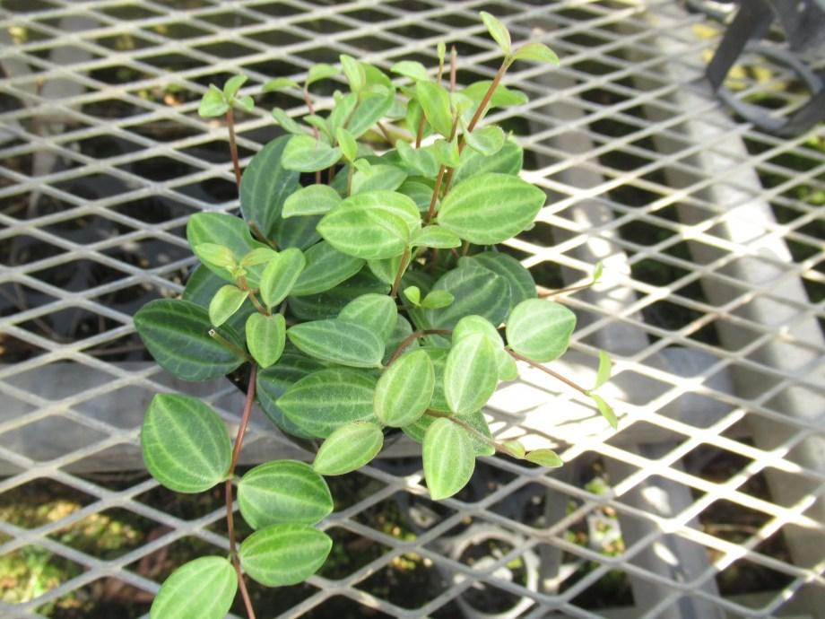 ペペロミア アングラータ (peperomia angulata)