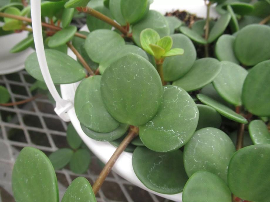 ペペロミア ホープの葉は多肉植物の緑の太鼓に似ています。
