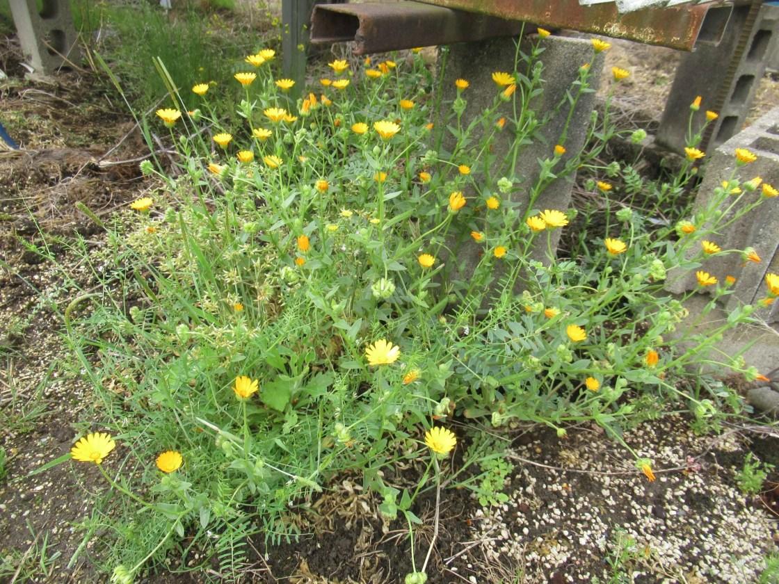春に咲く黄色い小さな花。