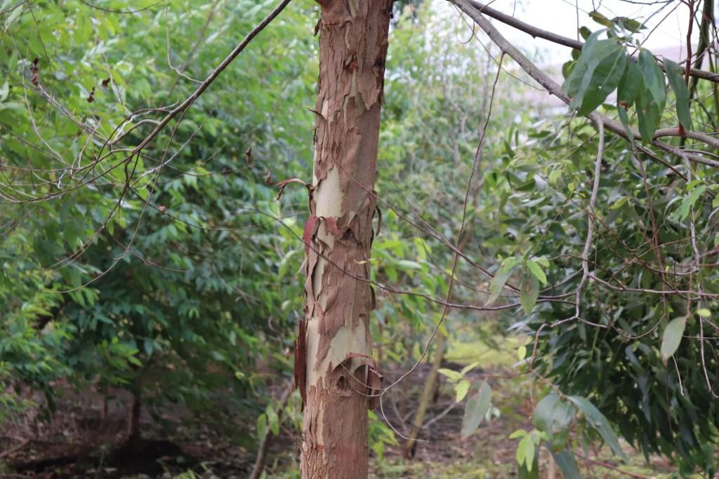 幹の皮がむける植物。