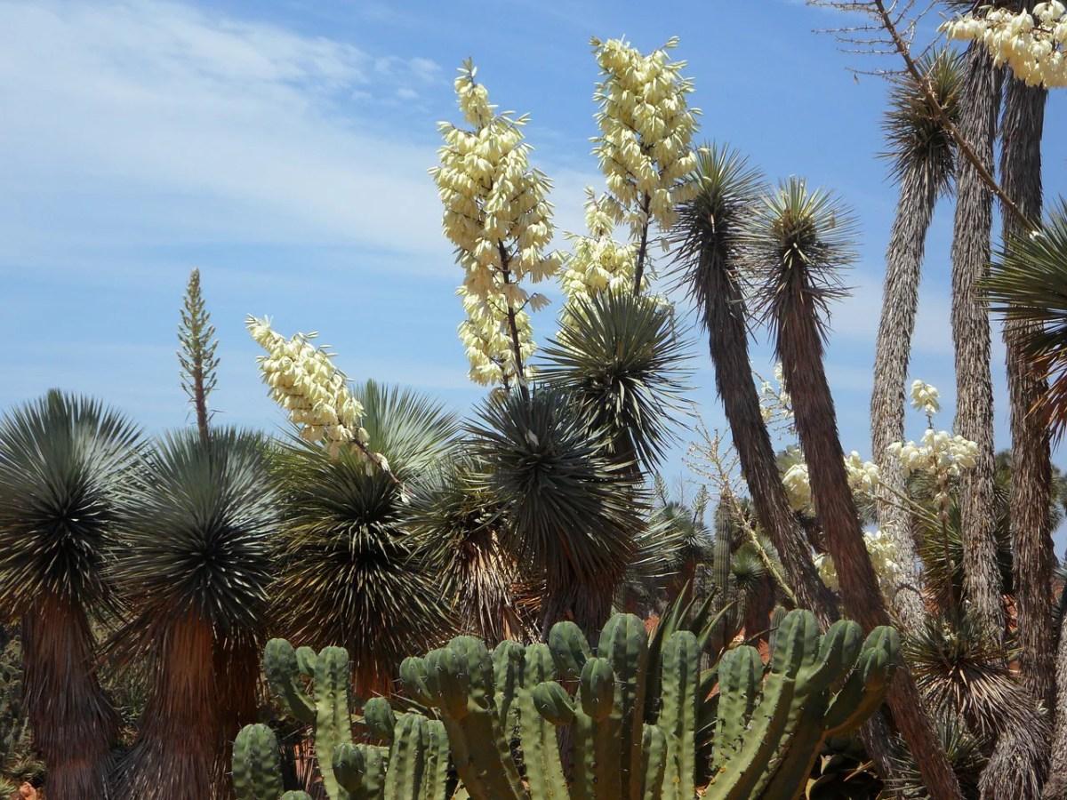 ユッカ ロストラータ の育て方や耐寒性など気になる事を。国内のほとんどの地域で地植え可能です。