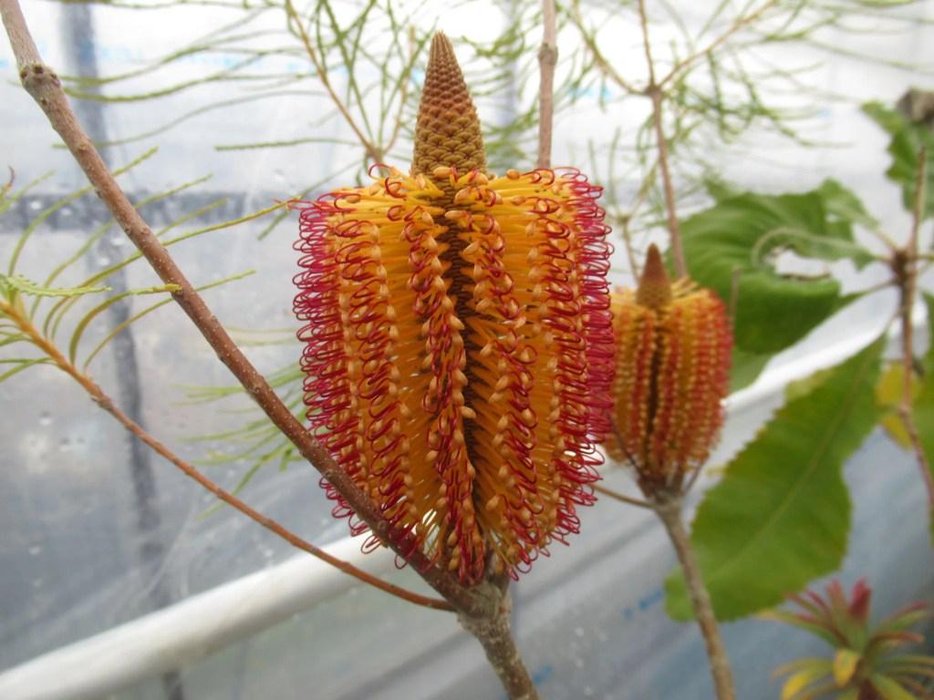 ヘアピン バンクシアの花