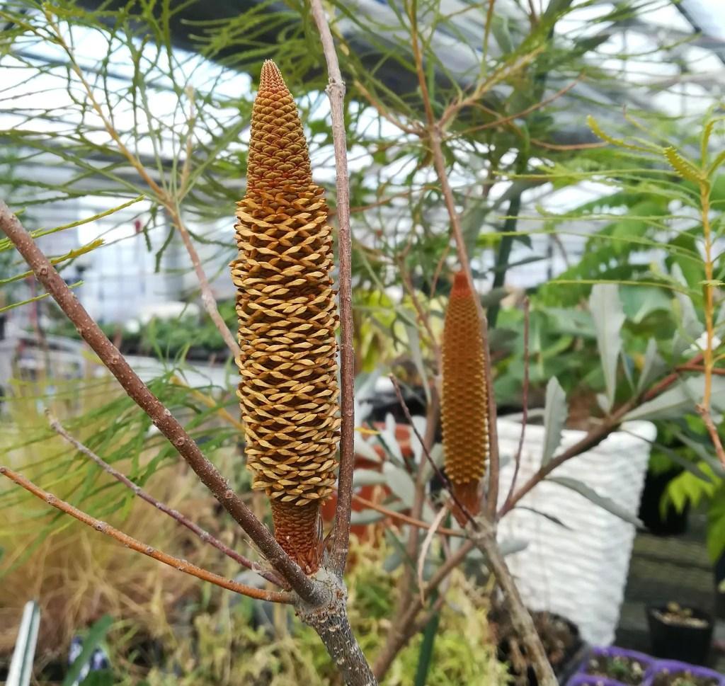 ヘアピンバンクシアの花の様子  10月