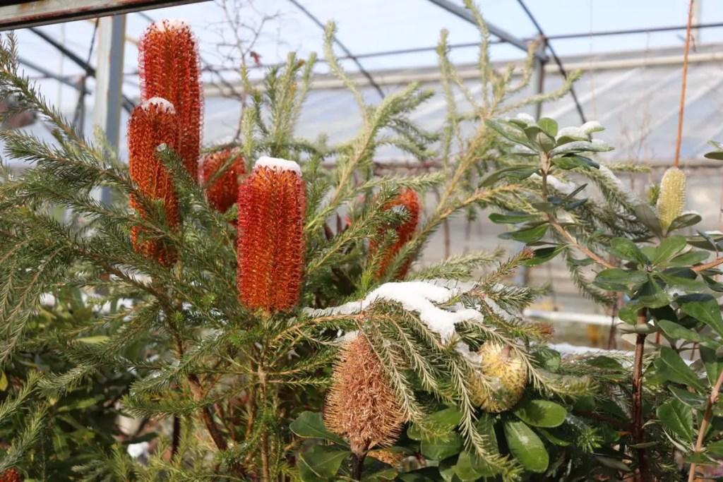 ヒースバンクシアに積もった雪。