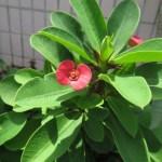 花っぽく見えるユーフォルビアの苞 ほう  です。