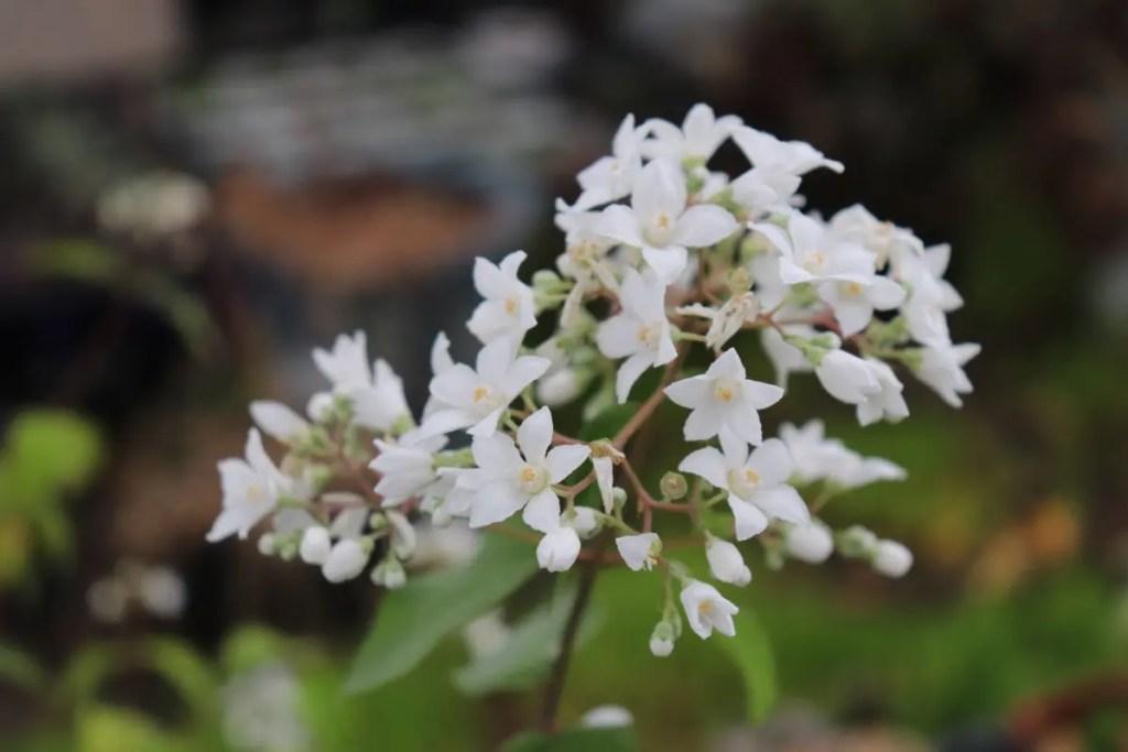シセンウツギの花です。