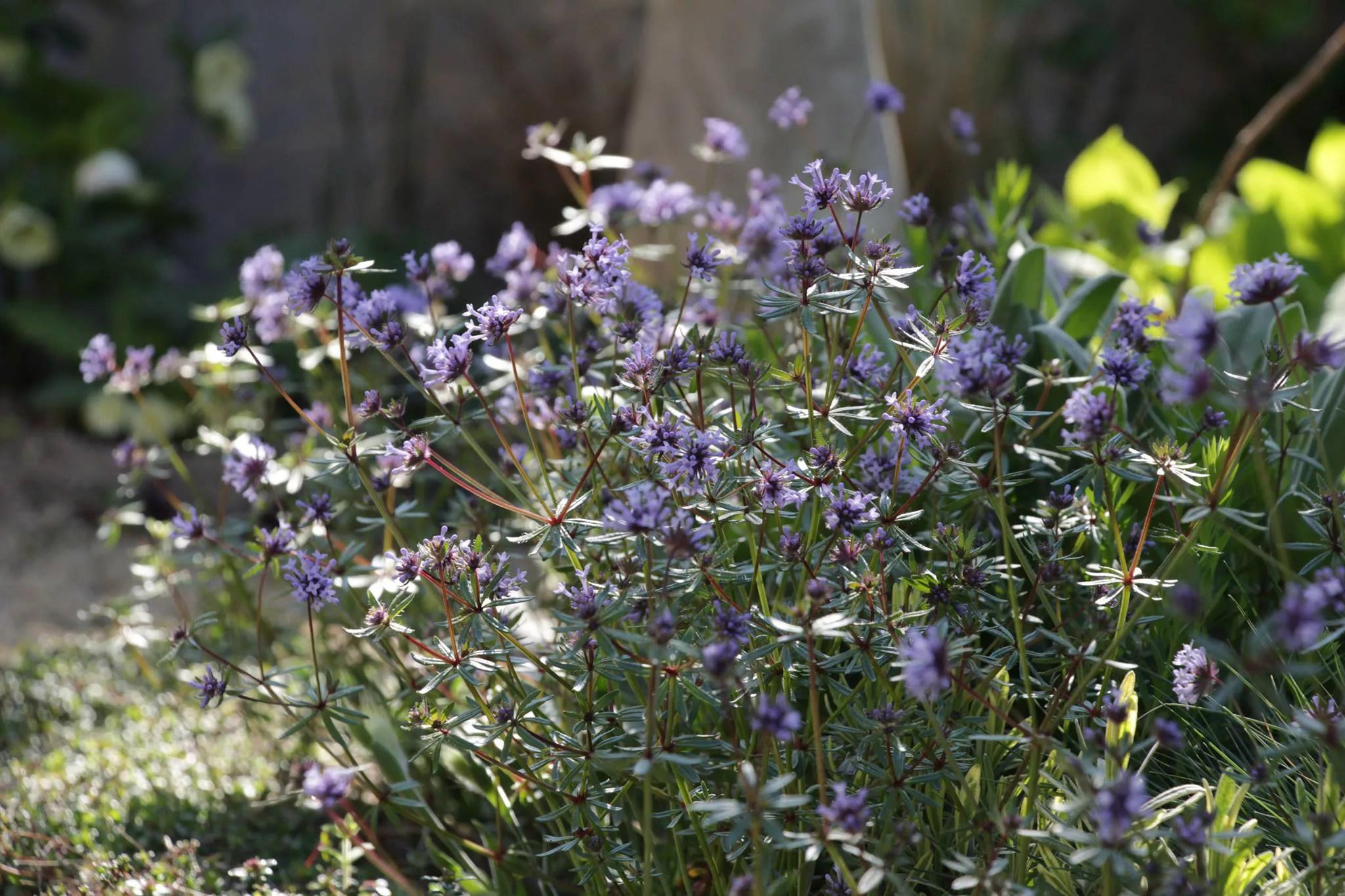 アスペルラ オリエンタリス  植栽例