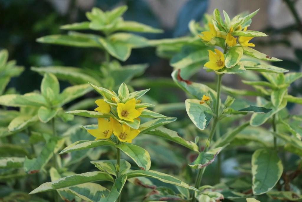 斑入りのリシマキア プンクタータの開花画像