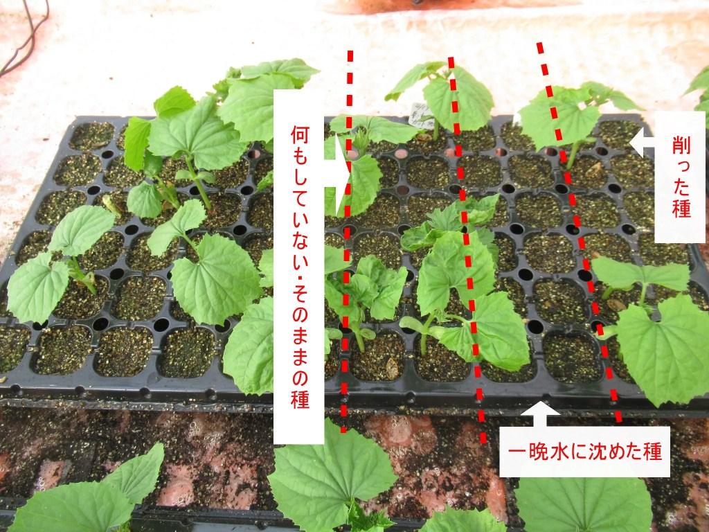 ツルレイシの発芽率について