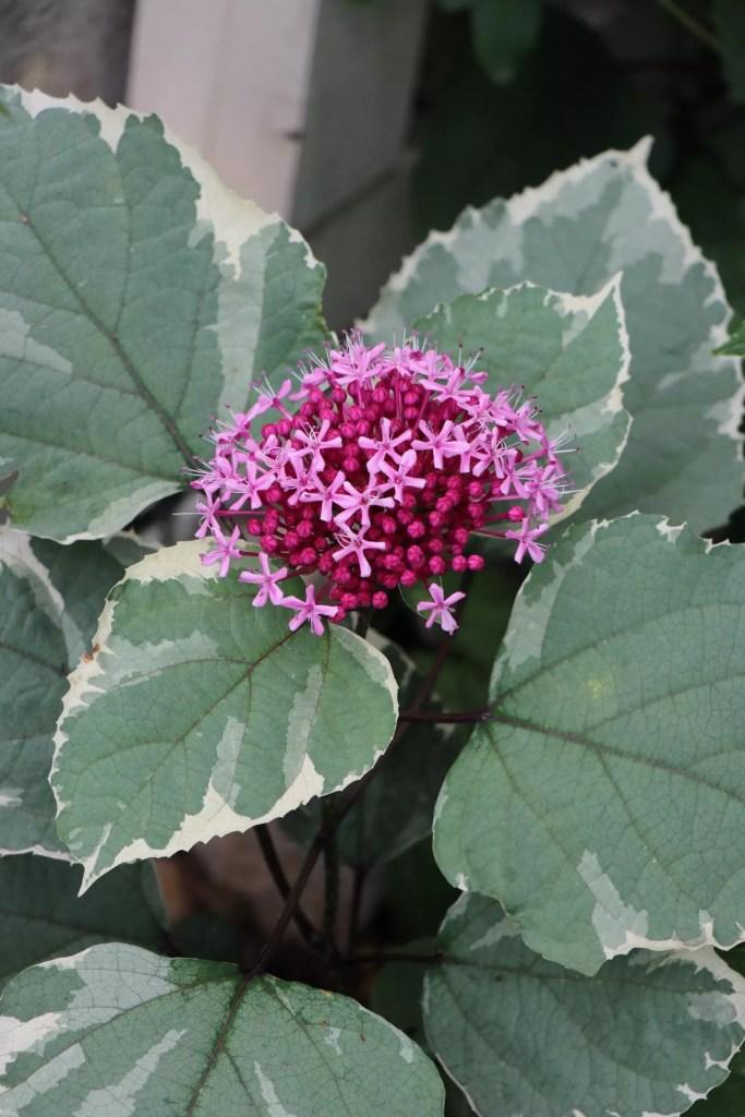 斑入りのクレロデンドルム の花です。