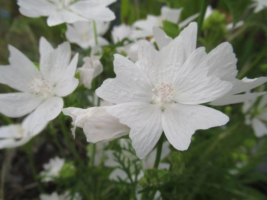 マルバ ホワイトパーフェクションの花