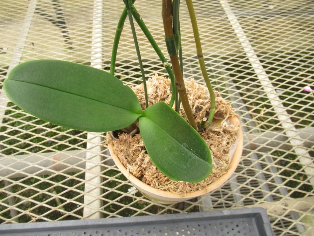 胡蝶蘭の鉢の茶色い皮みたいなモノ