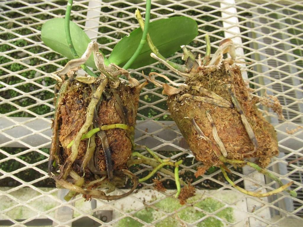 胡蝶蘭には土がありません。
