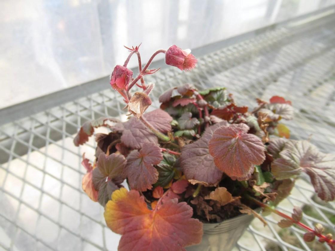 風鈴ダイコンソウの花