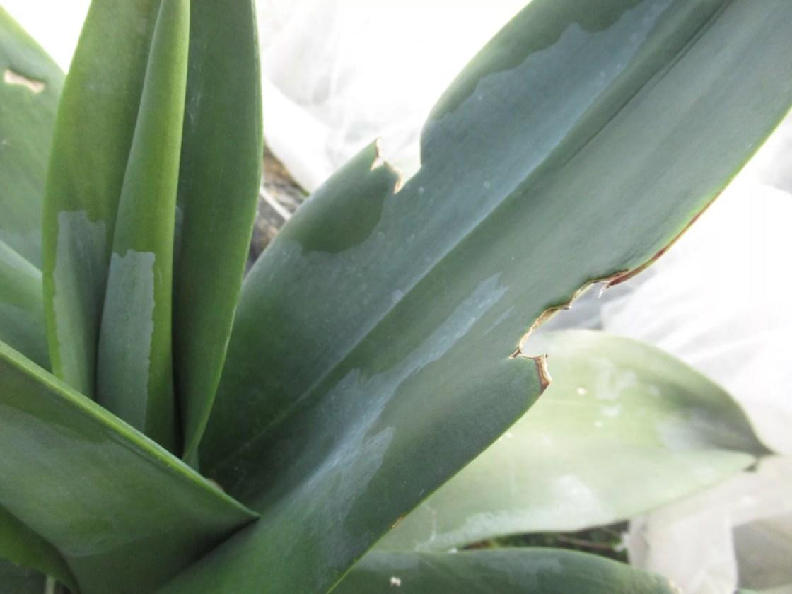 葉を食われたアガベ