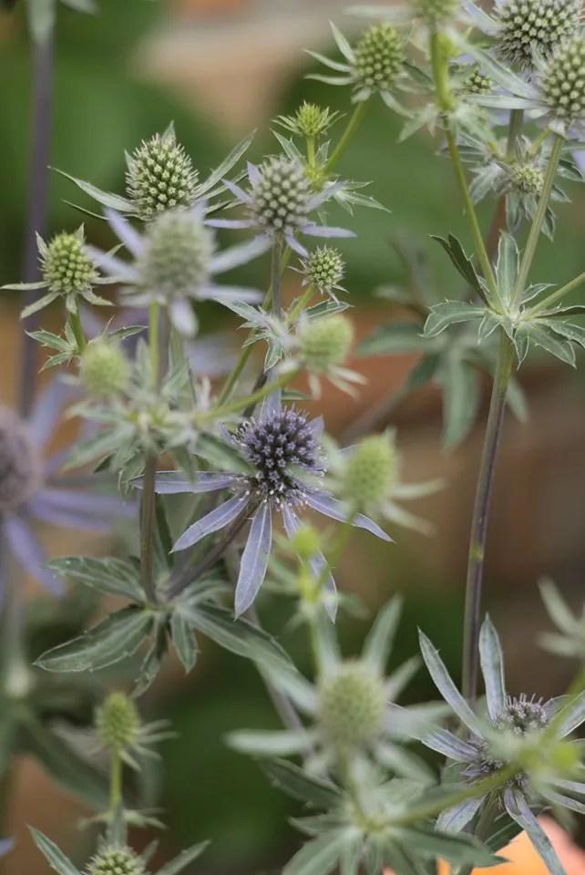 エリンジューム プラナムの花の画像