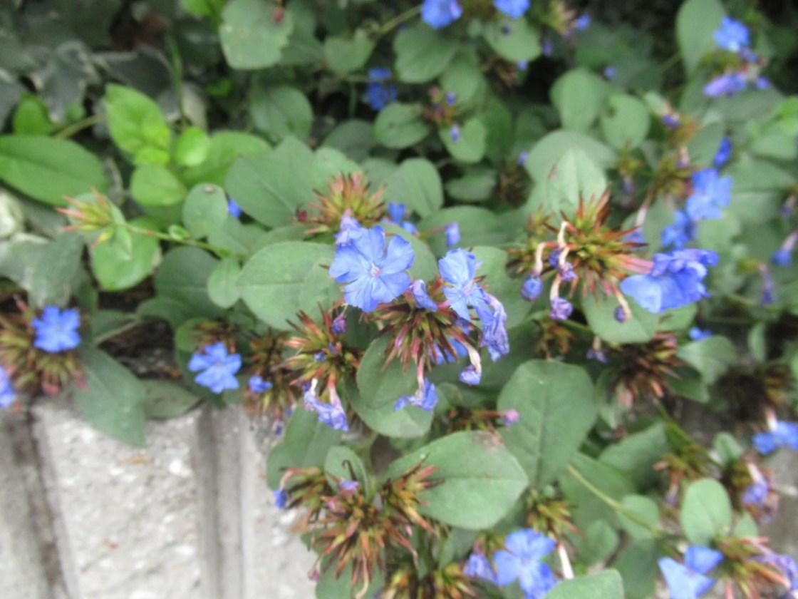 9月に咲いたルリマツリモドキ