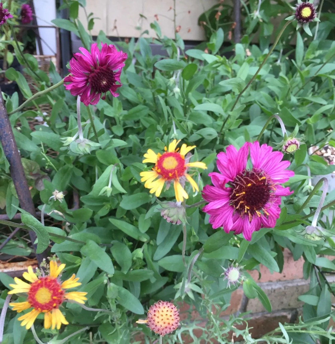 ガイラルディア グレープセンセーションの花