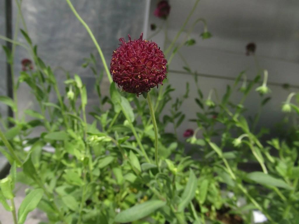 ガイラルディア グレープセンセーションの花が終わった様子