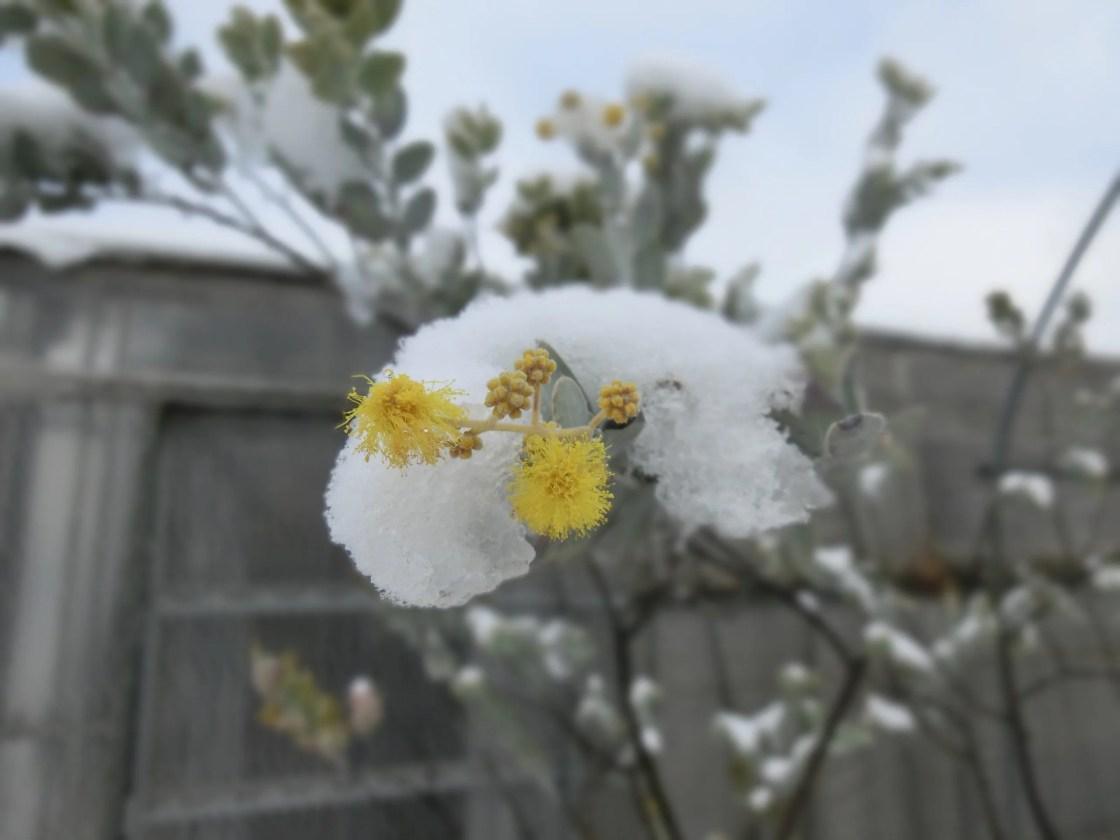 雪を被ったパールアカシア