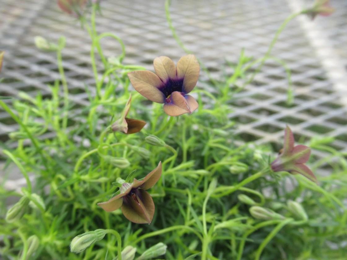 モノプシス ブロンズビューティーの花。