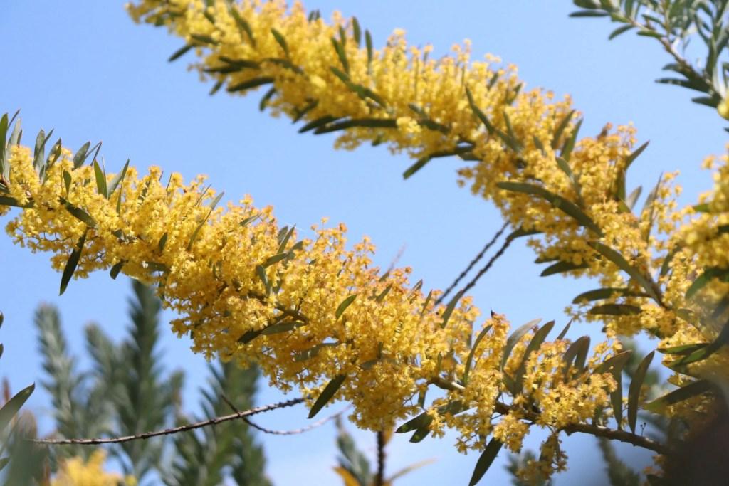 アカシア コベニーの花。